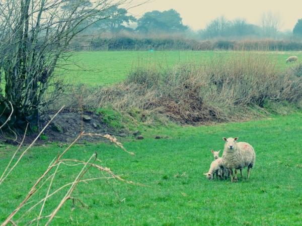 sheeps أدب الخرفان